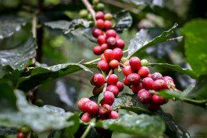 Greyhound Blend x Mivana organic forest coffee